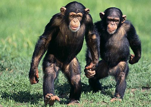 Resultado de imagem para chimpanzés comum na África Ocidental