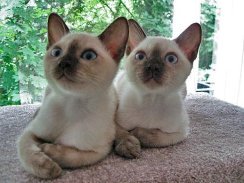 Resultado de imagem para Gato tonquinês
