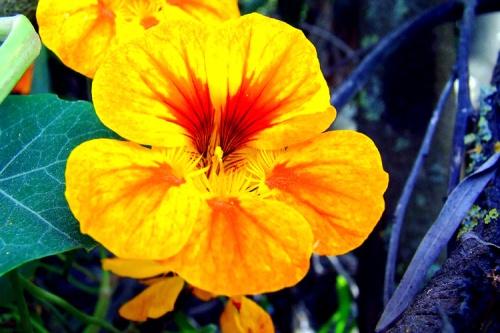 Resultado de imagem para flores comestíveis capuchinhas e amor perfeito