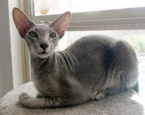 Resultado de imagem para Gatos Peterbald