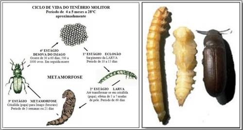 Resultado de imagem para LARVAS DE TENÉBRIO