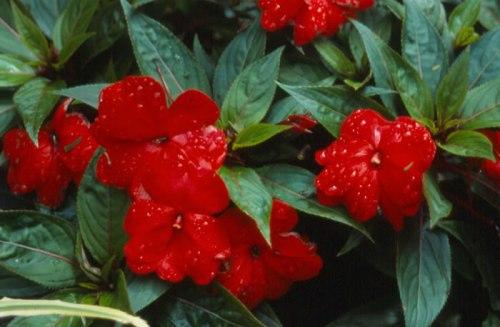 Resultado de imagem para flor Impatiens Também conhecida como Beijos