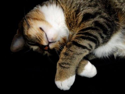 Resultado de imagem para gato dorminhoco