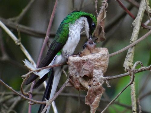 Resultado de imagem para Beija-flor-de-bochecha-azul