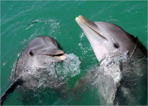 Resultado de imagem para golfinhos da espécie dentes-rugosos