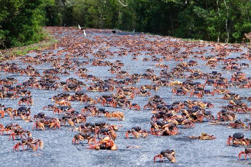 Resultado de imagem para caranguejo cubano