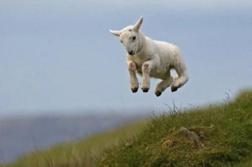 Resultado de imagem para cabras