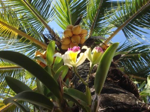 Resultado de imagem para orquideas no coqueiro