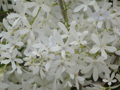 Resultado de imagem para flor de maio branca