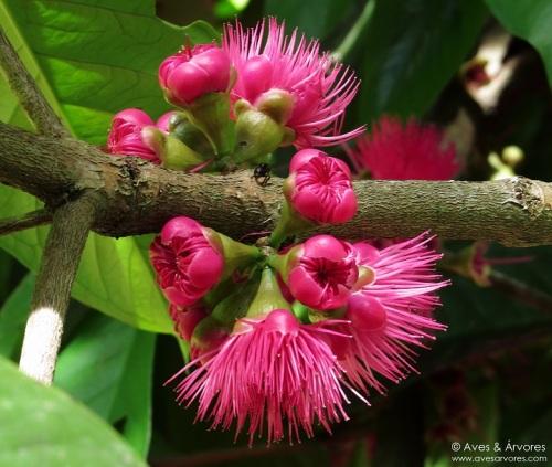 Resultado de imagem para jambo e flores