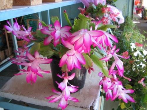 Resultado de imagem para flores de maio