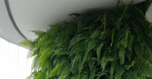 Resultado de imagem para Planta aspargo de jardim