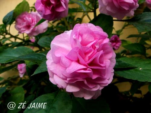 """Resultado de imagem para flor """"beijo dobrado"""""""