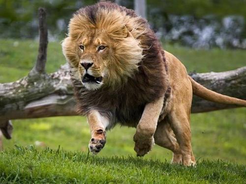 Resultado de imagem para rei leão corajoso