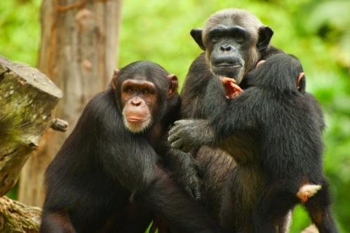 Resultado de imagem para chimpanzes