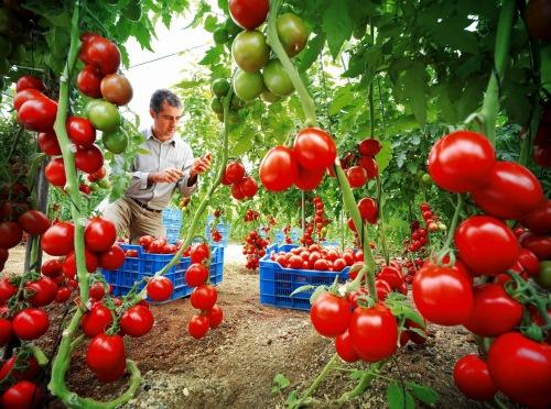 Resultado de imagem para pés de tomates