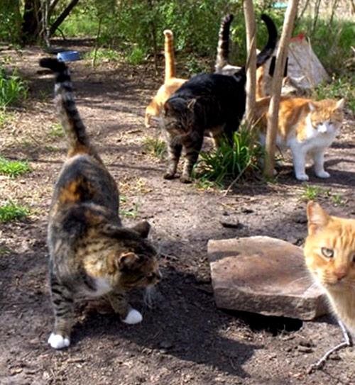 Resultado de imagem para gato feral
